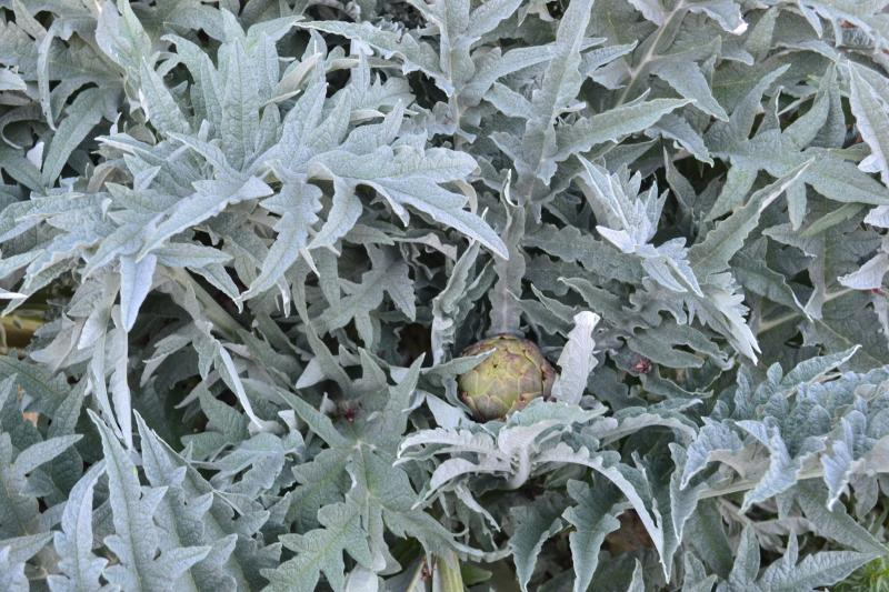 Click image for larger version  Name:Artichoke.jpg Views:75 Size:97.4 KB ID:97833