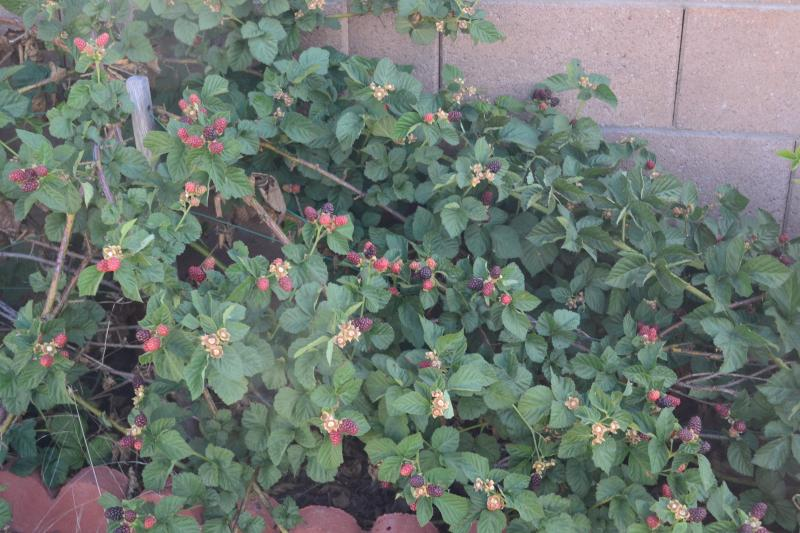 Click image for larger version  Name:Blackberries.jpg Views:45 Size:83.2 KB ID:99637
