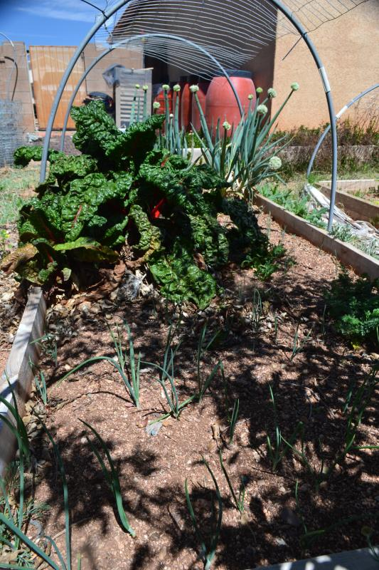 Click image for larger version  Name:onionchard.jpg Views:82 Size:119.9 KB ID:97160
