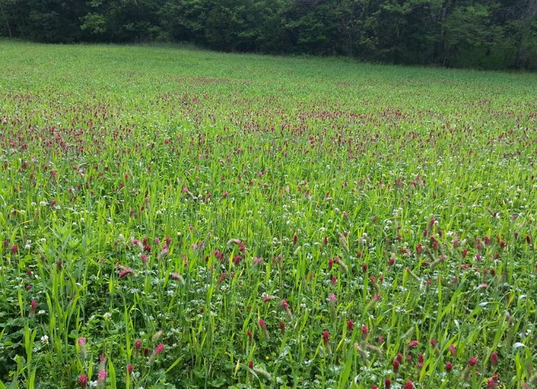 Click image for larger version  Name:Red Clover.JPG Views:19 Size:150.9 KB ID:287560